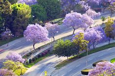Project: Angelenos, Show Us Your Jacaranda Trees in Bloom Beaches In The World, Places Around The World, The Places Youll Go, Places To See, Around The Worlds, Living In Europe, Unique Trees, Pretoria, Famous Places