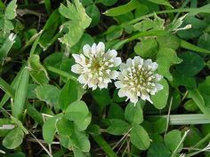 White  Clover | White clover flowers pictures.