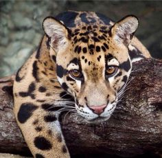 Clouded Leopard-Hector Hernandez, Diego's older brother who is lost within the organization of the White Witch.