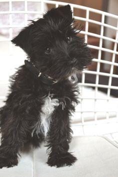 Pax the black miniature schnauzer puppy