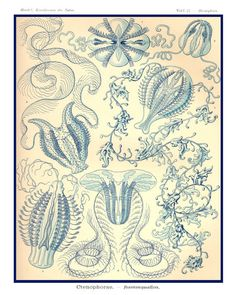 Hey, I found this really awesome Etsy listing at https://www.etsy.com/listing/105625783/ernst-haeckel-art-print-art-nouveau