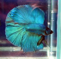 Betta splendens to match the new bedroom.