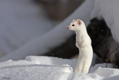 Ermine | by Fredrik Stige/Wildlife Photography