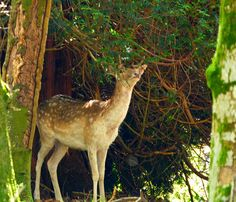 New forest Fallow deer. Explored. by cobby31, via Flickr