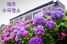 제주도 토박이가 알려주는 제주 수국명소 아홉 곳 Vegetables, Flowers, Travel, Viajes, Vegetable Recipes, Florals, Veggie Food, Trips, Traveling