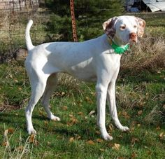 White Pointer Dog | Pointer Information and Pictures, English Pointer, Pointer, English ...
