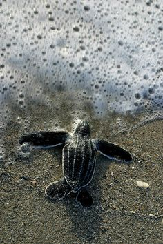This is a leatherback turtle. It is a endangered species of a turtle. You can help it by not littering and polluting the see such as plastic bags as they mistake the plastic bags as jellyfish. Jellyfish is a food they eat. So they will get inside the plastic bag and then drown