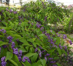 Callicarpa bodonieri 'Profusion' (Beautyberry)