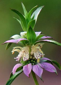 Lemon beebalm, also called horsemint, attracts bees, butterflies, and humming birds, supposedly repels mosquitos too?