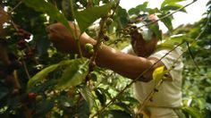 Raul Mamani picking coffee cherries on the farm.
