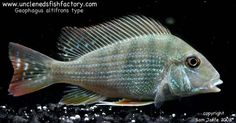 Geophagus sp. altifrons