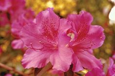 Certain species of Rhododendron, of the family Ericaceae, formerly given the generic name Azalea. Neither the nature of the corolla (ring of petals) nor other characteristics are...