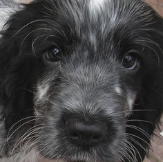 Cutie Blue Roan Cocker Spaniel, Springer Spaniel Puppies, Cute Puppies, Cute Dogs, Dogs And Puppies, Andalusian Horse, Friesian Horse, Arabian Horses, Spaniel Breeds