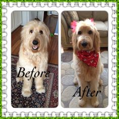 how to properly groom a goldendoodle - Google Search                                                                                                                                                                                 More