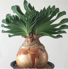 """3,124 Likes, 48 Comments - Plants, plants.... Plantcetera (@plantcetera) on Instagram: """"Name: Boophane haemanthoides. Love this plant! 👌🏻📷: @plecish"""""""