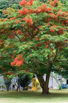 Flame tree, Island of Beqa, Fiji, Melanesia | Douglas Peebles