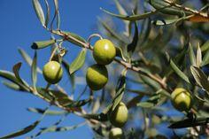 L'olio in cucina lo usiamo da appena 4 secoli https://www.facebook.com/osteria.baccano.restaurant.san.gimignano/ http://www.spazifood.it/wp/2017/05/30/lolio-in-cucina-lo-usiamo-da-appena-4-secoli/
