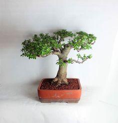 "Mature Jade bonsai tree ""Summer Jade Collection"" styled by Leonard by LiveBonsaiTree on Etsy"