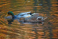 Ducks in Fall-1000