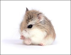 Winter White Dwarf Hamster Colors - Pics about space