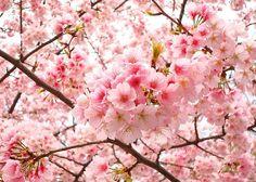 čerešňové jaro