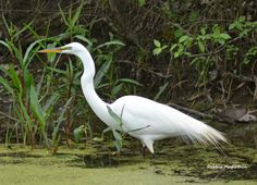 White egret @ a Ohio birding area Ohio Birds, White Egret, Bella Photography, Backyard Birds, Exotic Birds, Beautiful Birds, Animals, Animales, Animaux