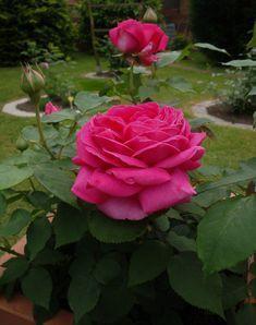 Stärkungsmittel für Rosen Mit Kräuterbrühen die Rosen stärken