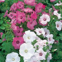 Lavatera trimestris Beauty Mix Seeds - Suttons Seeds and Plants