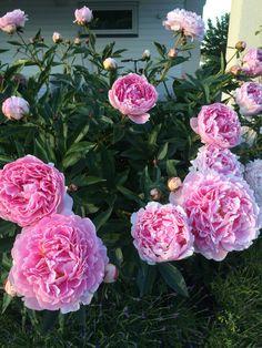 """Paeonia lactiflora """"Sarah Bernhardt"""". Luktpion som är fylld, blommar i juni-juli. Är fantastisk som snittblomma. Denna pion behöver stöd. Blommorna är så stora att de blir tunga vid regn och ligger då ner på marken. Myrorna älskar dock sockret på dessa söta blomknoppar, sätt gärna myrdosa under plantan!"""