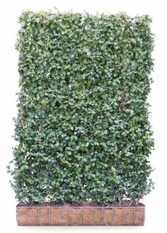 Green Living Fence - replace privacy wall with this! Green Living Fence - replace privacy wall with Hedging Plants, Ivy Plants, Tall Plants, Fence Plants, Garden Hedges, Garden Privacy, Balcony Garden, Potted Trees Patio, Outdoor Pool Shower