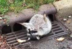 This Fat Raccoon Ate Too Much, Stuck In Grate And Rescued By Local Authorities
