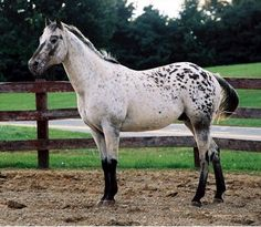 blue roan pinto - Google Search  So not a blue roan... google your drunk...