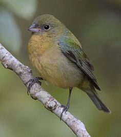 Painted Bunting (female) - Summer 2011, Frio Country Cabins