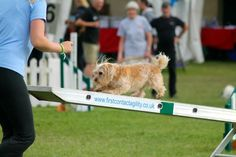 Ritzy in the main ring at the KC International Agility Festival 2015