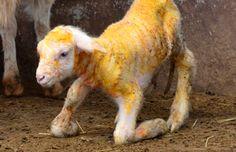 Un cordero con Omega 3 ¿Carne, pescado o fruto seco?  Científicos del Instituto de Genómica de Pekín han clonado una oveja genéticamente modificada para que en lugar de producir grasa propia de estos animales, más perjudicial para la salud, fabrique una grasa con altos niveles de omega 3, similares a los que se encuentran en pescados grasos, como el salmón, o en los frutos secos.  El cordero recien nacido en la región de Sinkiang ha sido bautizado como Peng Peng.