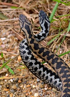 """""""Dance of the Adders"""" in the sun (its that time of the year again!) Common European adders, Vipera berus"""