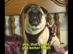 Pug Rapper - TOO FUNNY to Miss! Funny Dog Videos, Funny Dogs, Raining Cats And Dogs, It's Raining, Pugs, Rapper, Dog Cat, Watch, Animals