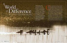 "Photograph of duck squad is visually striking, very high contrast of values. The photo of the dry, cracked earth at the top offers contrast in subject matter, relating to the ""difference"" referenced in the article's headline. The font weight of the body copy looks sufficiently heavy such that the type is legible and comfortable to read. The little intro blurb has a narrow column width and uses a slightly larger font with more spaced out leading to distinguish it from the main body text."