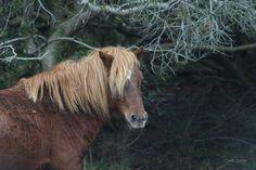 Assateague Island, Maryland Wild Pony