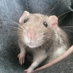 Rats don't have great eyesight so they rely on their adorable whiskers to interpret their surroundings. | 17 Facts That Will Make You Love Rats Even More