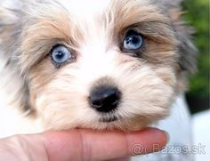 Yorkshirsky terier s PP - blueberry merle - 1 Biewer Yorkie, Yorkies, Yorkie Cuts, Yorkshire Terrier, Animals And Pets, Puppy Love, Blueberry, Puppies, Brown