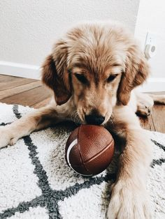 look at this cute puppy! totally ready to take on any sport! golden retriever with his toy football #goldenretriever