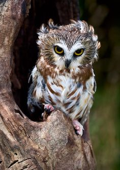 Looks like he just woke up // Saw-whet Owl - By Wade Aiken