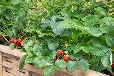 Päť tipov pre úspešné pestovanie jahôd Fruit Trees, Home And Garden, Herbs, Gardening, Flowers, Plants, Garten, Herb, Flora