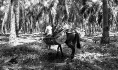 Cultivo Palma Aracataca