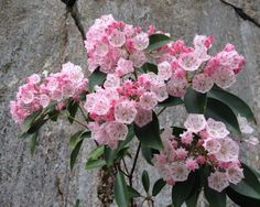 Zauberhaft-100-Samen-Lorbeerrose-Berglorbeer-winterhart-Kalmia-latifolia
