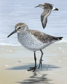 White-rumped Sandpiper - Whatbird.com
