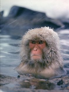 A Japanese snow monkey in a hot spring during snowfall. Photo: Co Rentmeester (shot chosen for the cover of LIFE, January 30, 1970).