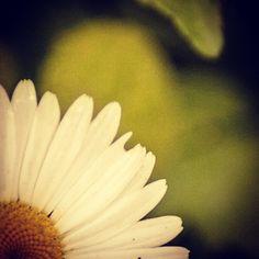 Summer daisy. #originalphoto #canon #t6i #2015 #daisy #flower #flowerstagram #macro #NY #photo #pphotography #summer