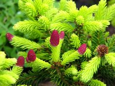 Picea abies 'Pusch' has red cones on the tips of the branches, that eventually fade to brown cones, continuing to decorate the plant, and it grows very slowly, maybe reaching only 12″ over 10 years. How cool is this?